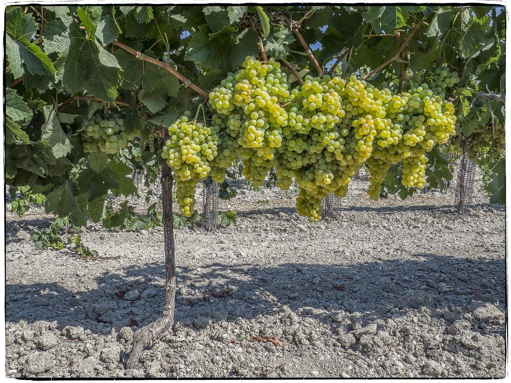 Storia ed origine della viticoltura in Italia